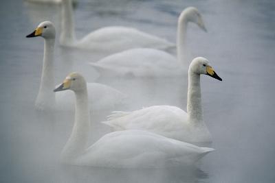 Whooper Swans on Lake-DLILLC-Photographic Print