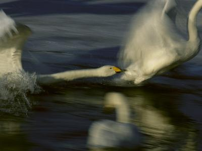 Whooper Swans Racing Across Water During Takeoff--Photographic Print