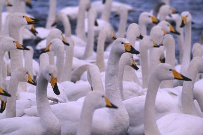 Whooper Swans-DLILLC-Photographic Print