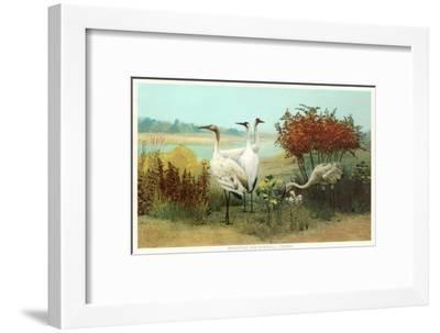 Whooping and Sandhill Cranes--Framed Art Print