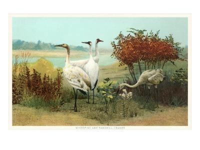 Whooping and Sandhill Cranes--Art Print