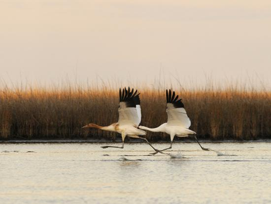 Whooping Crane Adult and Juvenile Taking Off from Wintering Grounds-Klaus Nigge-Photographic Print