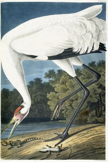 Whooping Crane, Adult Male, 1834-John James Audubon-Giclee Print