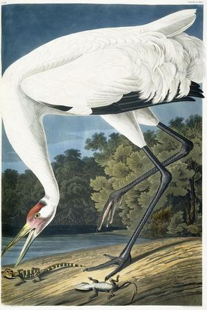 https://imgc.artprintimages.com/img/print/whooping-crane-adult-male-1834_u-l-pplvft0.jpg?artPerspective=n