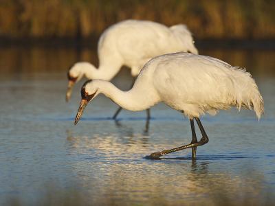 Whooping Crane, Aransas National Wildlife Refuge, Texas, USA-Larry Ditto-Photographic Print