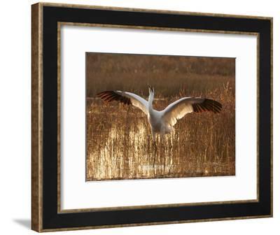 Whooping Crane Defense Posture in Breeding Territory-Klaus Nigge-Framed Photographic Print
