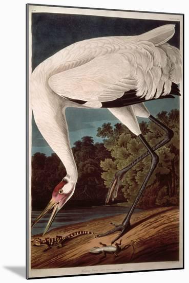 "Whooping Crane, from ""Birds of America""-John James Audubon-Mounted Premium Giclee Print"