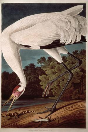 https://imgc.artprintimages.com/img/print/whooping-crane-from-birds-of-america_u-l-q1ga2e20.jpg?p=0