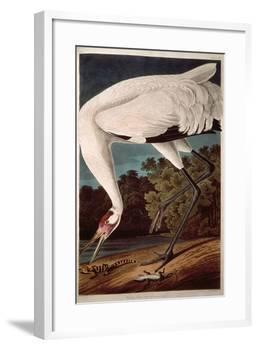 """Whooping Crane, from """"Birds of America""""-John James Audubon-Framed Giclee Print"""