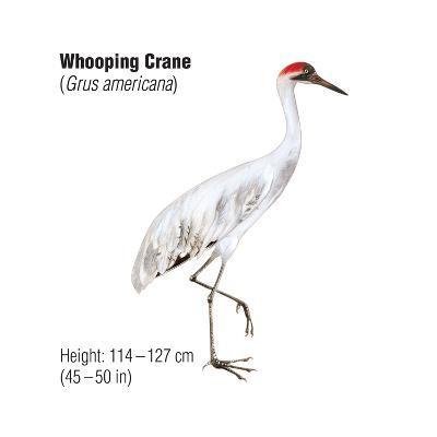 Whooping Crane (Grus Americana), Birds-Encyclopaedia Britannica-Art Print
