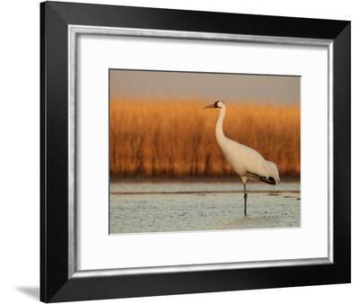 Whooping Crane Standing on One Leg in Muddy Pond at Wintering Grounds-Klaus Nigge-Framed Photographic Print