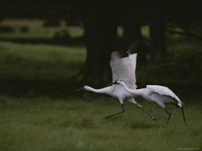 Whooping Cranes in Saint Cloud, Where They are Being Reintroduced-Randy Olson-Photographic Print