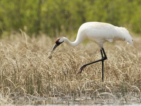 Whooping Cranes Male Returns Empty Egg Shell to Nest-Klaus Nigge-Photographic Print