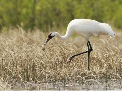 https://imgc.artprintimages.com/img/print/whooping-cranes-male-returns-empty-egg-shell-to-nest_u-l-phua2t0.jpg?p=0