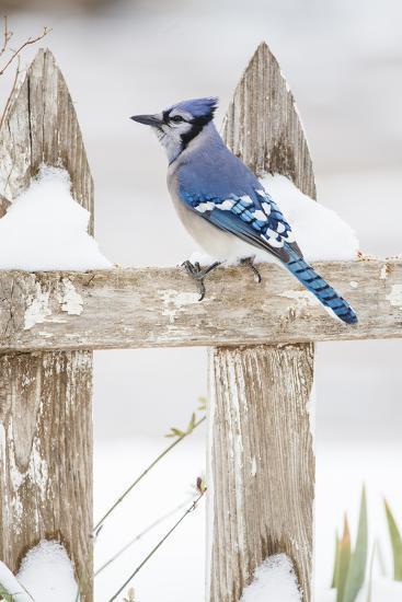 Wichita County, Texas. Blue Jay, Cyanocitta Cristata, Feeding in Snow-Larry Ditto-Photographic Print