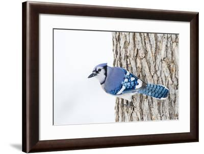 Wichita County, Texas. Blue Jay, Cyanocitta Cristata, Feeding in Snow-Larry Ditto-Framed Photographic Print