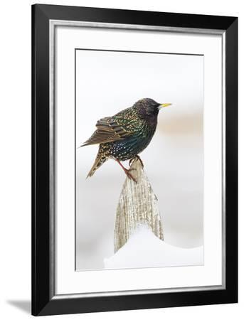 Wichita County, Texas. European Starling on Picket Fence-Larry Ditto-Framed Photographic Print
