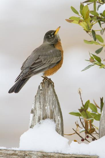 Wichita Falls, Texas. American Robin Searching for Berries-Larry Ditto-Photographic Print