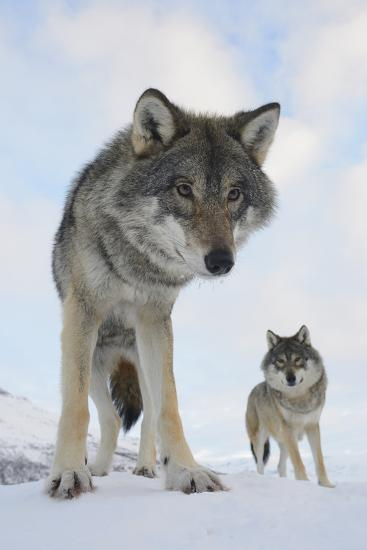 Wide Angle Close-Up Of Two European Grey Wolves (Canis Lupus), Captive, Norway, February-Edwin Giesbers-Photographic Print