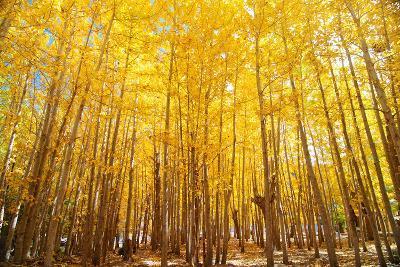 Wide Angle Fall Aspen Trees-szefei-Photographic Print