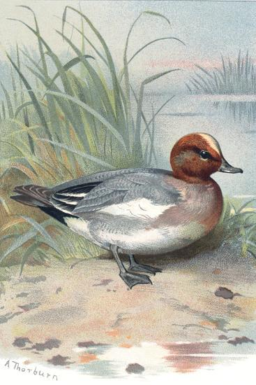 Widgeon, Historical Artwork-Sheila Terry-Photographic Print