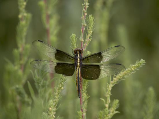 Widow Dragonfly or Widow Damselfly Perched, Boyd Lake State Park, Colorado, USA-James Hager-Photographic Print