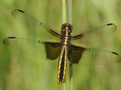 Widow Skimmer Dragonfly (Libellula Luctuosa)-Robert Servrancky-Photographic Print