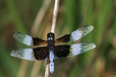 Widow Skimmer Male in Wetland, Marion County, Illinois-Richard and Susan Day-Photographic Print