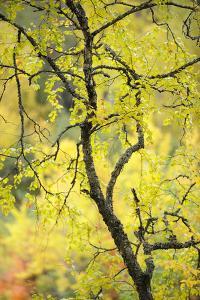 Birch Tree (Betula) by the Oulanka River, Finland, September 2008 by Widstrand