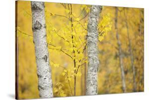 Birch Trees (Betula Verrucosa or Pubescens) Oulanka, Finland, September 2008 by Widstrand