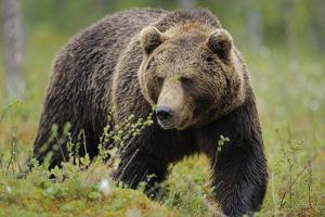 Eurasian Brown Bear Portrait (Ursus Arctos) Suomussalmi, Finland, July 2008 by Widstrand