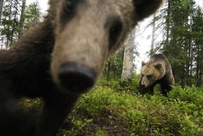 Eurasian Brown Bear (Ursus Arctos) Close Up of Nose While Investigates Remote Camera, Finland
