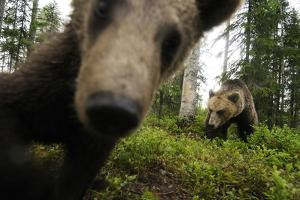 Eurasian Brown Bear (Ursus Arctos) Close Up of Nose While Investigates Remote Camera, Finland by Widstrand