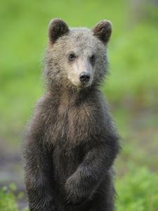 Eurasian Brown Bear (Ursus Arctos) Cub Portrait, Suomussalmi, Finland, July 2008 by Widstrand