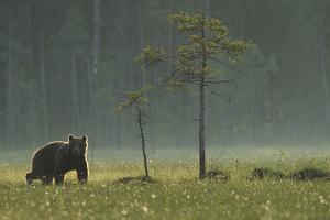 Eurasian Brown Bear (Ursus Arctos) in Early Evening, Kuhmo, Finland, July 2008 by Widstrand