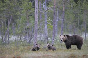 Eurasian Brown Bear (Ursus Arctos) Mother and Cubs in Woodland, Suomussalmi, Finland, July 2008 by Widstrand
