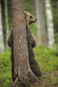 Eurasian Brown Bear (Ursus Arctos) Rubbing Back Against Tree, Suomussalmi, Finland, July 2008 by Widstrand