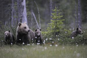 Eurasian Brown Bear (Ursus Arctos) with Three Cubs, Suomussalmi, Finland, July 2008 by Widstrand