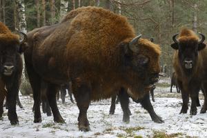 European Bison (Bison Bonasus), Large Bull, Drawsko Military Area by Widstrand