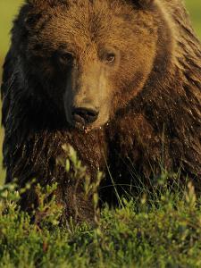European Brown Bear (Ursus Arctos) Kuhmo, Finland, July 2009 by Widstrand