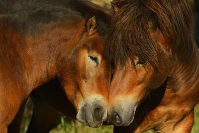 Exmoor Ponies, One Of The Oldest And Most Primitive Horse Breeds In Europe, Keent Nature Reserve