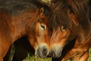Exmoor Ponies, One Of The Oldest And Most Primitive Horse Breeds In Europe, Keent Nature Reserve by Widstrand