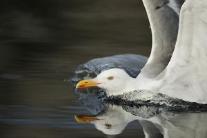 Herring Gull (Larus Argentatus) Landing on Water, Flatanger, Nord Tr?ndelag, Norway, August 2008 by Widstrand