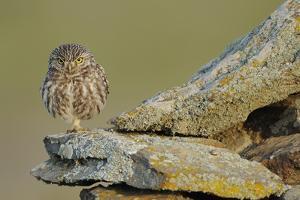 Little Owl (Athene Noctua) on Rock, La Serena, Extremadura, Spain, April 2009 by Widstrand