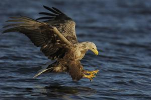 White Tailed Sea Eagle Hunting, North Atlantic, Flatanger, Nord-Trøndelag, Norway, August by Widstrand