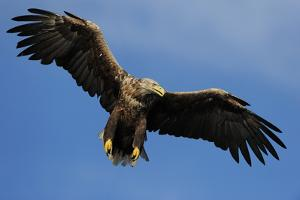 White Tailed Sea Eagle in Flight, North Atlantic, Flatanger, Nord-Trondelag, Norway, August by Widstrand