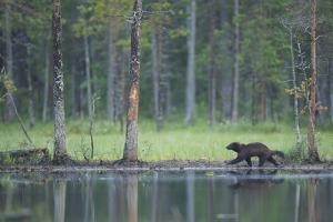 Wild Eurasian Wolverine (Gulo Gulo) Walking Along Waters Edge, Kuhmo, Finland, July 2008 by Widstrand
