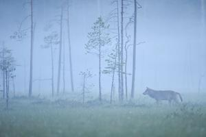 Wild European Grey Wolf (Canis Lupus) Silhoutted in Mist, Kuhmo, Finland, July 2008 by Widstrand