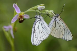 Woodcock Orchid (Ophrys Cornuta-Scolopax) With Black Veined White Butterflies (Aporia Crataegi) by Widstrand