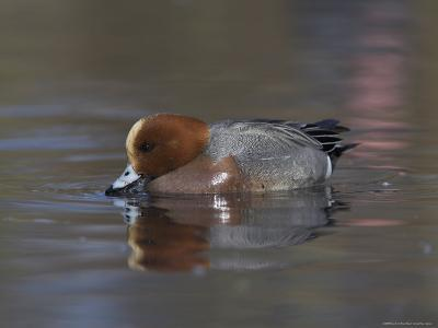Wigeon, Anas Penelope, at Martin Mere Wildfowl and Wetlands Trust Reserve in Lancashire, England-Steve & Ann Toon-Photographic Print